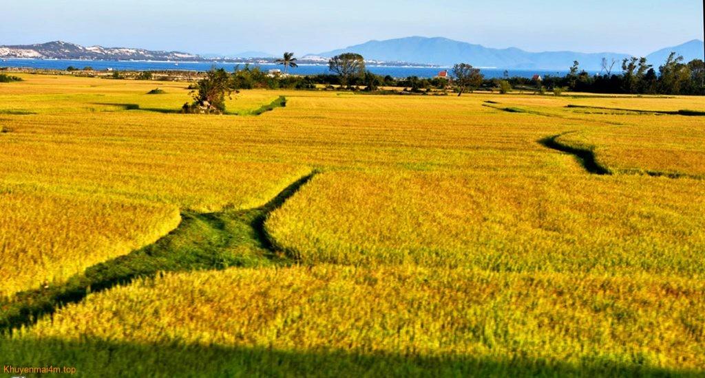 'Biển lúa vàng' siêu đẹp các tỉnh Miền Trung
