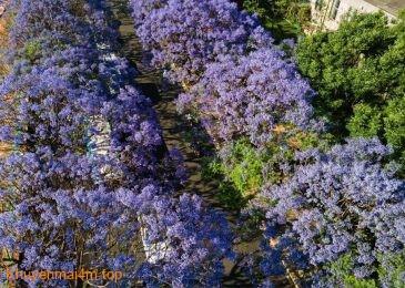 Đường phố Côn Minh, Trung Quốc nhuộm tím bởi sắc hoa phượng